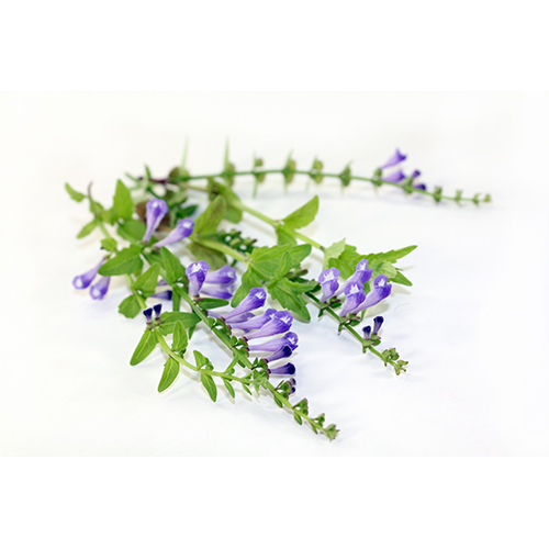 Chinese Skullcap Root Extract
