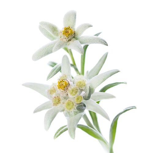 Edelweiss Flower Extract