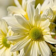 Daisy Flower Extract
